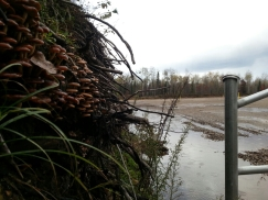 """Mushrooms Growing Near a Fracking Site in Michigan Observing and researching native growth of mushrooms in disturbed habitats is an important part of seeing what already """"works"""" for remediation purposes"""