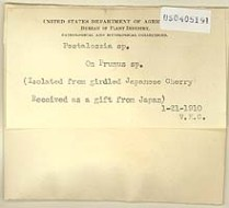 Fig. 4 Specimen of a fungus on the Japanese cherry trees that is still unidentified to species. The specimen was collected and identified by Vera K. Charles, one of Patterson's assistants, and is part of the collections at the U.S. National Fungus Collections (BPI)