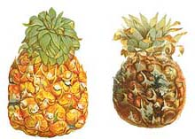 Pineapples inoculated withThielaviopsis paradoxa, cause of pineapple rot. Fruit on right sprayed with spores shows less resistance to the disease than the fruit on the left inoculated by incision method (12)