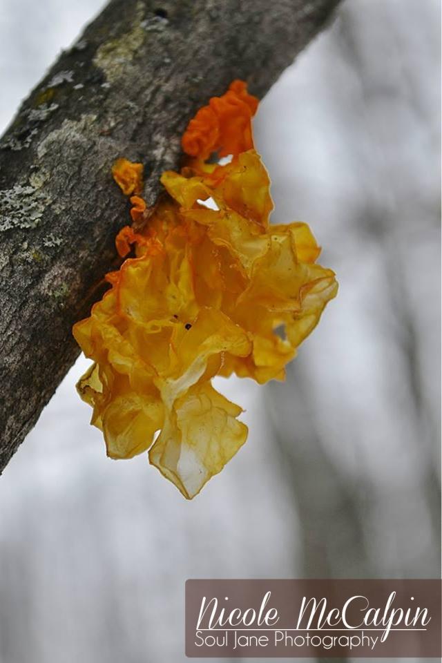 Frozen jelly fungi